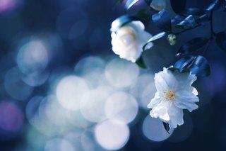 【高解像度】白い山茶花(サザンカ)(3パターン)