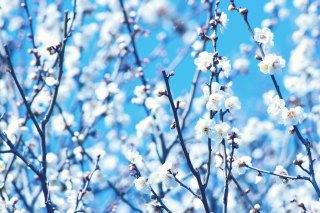 【高解像度】青空と雪のような白梅(3パターン)