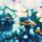 【高解像度】鮮やかな光の中の百日草(ジニア)(3パターン)