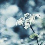 【高解像度】色褪せた紫陽花(アジサイ)(3パターン)