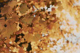 【高解像度】黄色く色づく葉(3パターン)