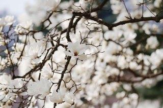 【高解像度】満開の白木蓮(ハクモクレン)(3パターン)