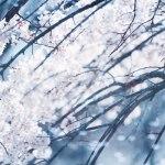 【高解像度】曲線を描く枝垂れ桜(シダレザクラ)(3パターン)