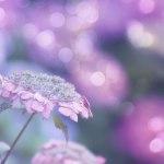 【高解像度】光降る紫陽花畑(アジサイ)(3パターン)