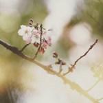 【高解像度】木漏れ日と桜(3パターン)