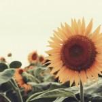【高解像度】大きく咲く向日葵(ヒマワリ)(3パターン)