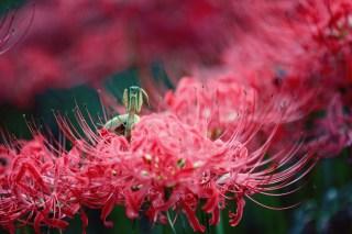 【高解像度】彼岸花と蟷螂(カマキリ)(2パターン)