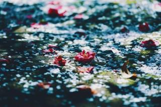 【高解像度】零れ桜と落ち椿(ツバキ)(3パターン)