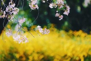 【高解像度】桜と山吹(サクラ・ヤマブキ)(3パターン)