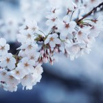 【高解像度】白い桜(サクラ)(3パターン)