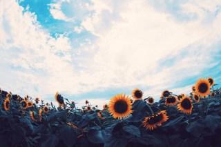 【高解像度】広い空と向日葵畑(ヒマワリ)(3パターン)