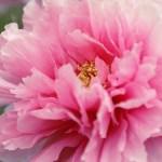 【高解像度】ピンク色の大輪の牡丹(ボタン)(3パターン)