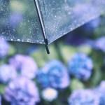 【高解像度】雨の日の紫陽花(アジサイ)(3パターン)