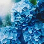 【高解像度】滲む紫陽花(アジサイ)(3パターン)
