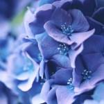 【高解像度】青紫色の紫陽花(アジサイ)(3パターン)