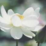 【高解像度】花弁が開ききった白い蓮(ハス)(3パターン)