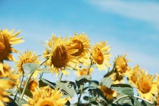 【高解像度】うつむき気味の向日葵(ヒマワリ)(3パターン)