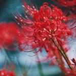 【高解像度】重なる彼岸花(3パターン)