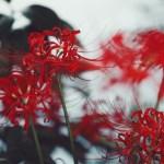 【高解像度】幾重にも重なる彼岸花(3パターン)