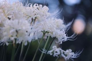 【高解像度】上を向いて咲く白花曼珠沙華(3パターン)