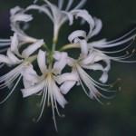 【高解像度】上から見た白花曼珠沙華(3パターン)