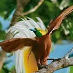 8d81c paradijsvogel3 - Paradijsvogels