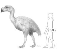 Phorusracids and humans compared
