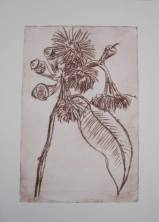 Swamp Bloodwood dry point print 140316