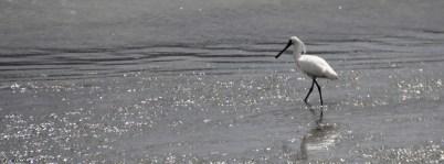 Royal Spoonbill
