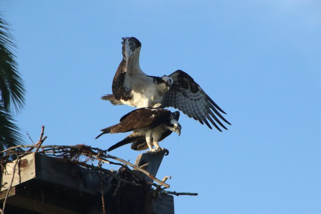 Osprey, parent and chick nearly ready to leave