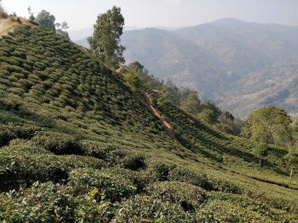 ilam bazaar tea garden