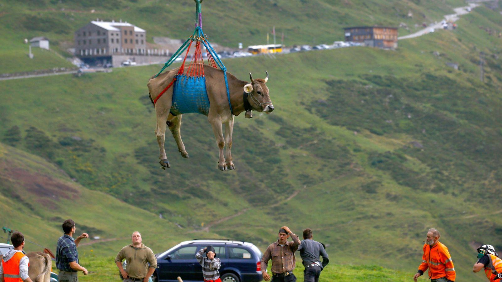 घाइते गाईलाई जब हेलिकप्टरबाट उद्धार गरियो… (तस्बिरहरु)