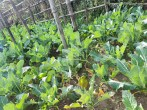 Vegitable garden Kalinchok