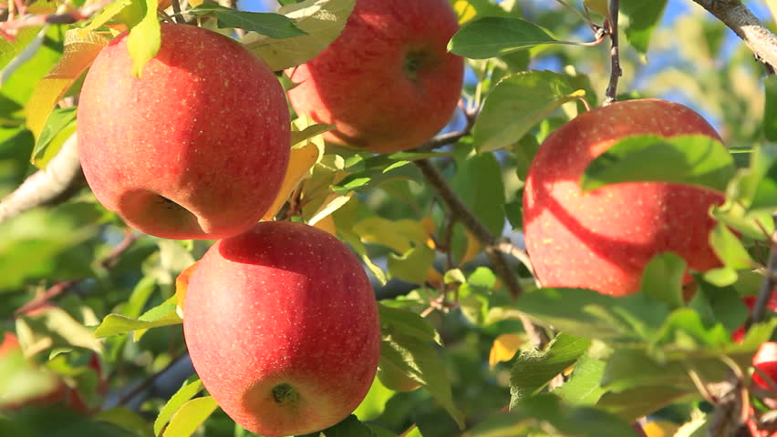 Apple Orchard Management Week starts in Jumla