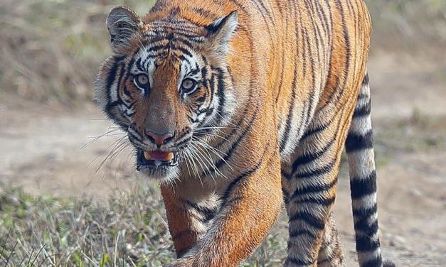 International Tiger Day: Nepal's aim to double number of tiger by 2022 on track