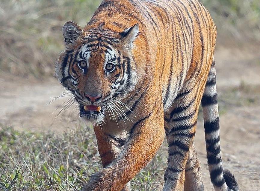 एउटै प्रविधिबाट एकैपटक नेपाल र भारतमा बाघ गणनाको तयारी