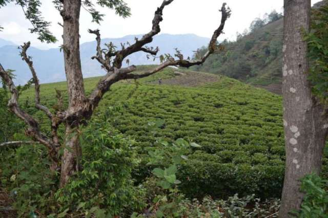 A view of Everest Tea Estate at located 42 km of Kathmandu.