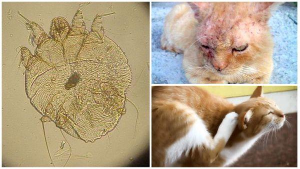 Саркоптоз у кошек - Паразиты в организме человека