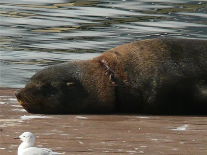 South African Fur Seal Resting Near Aquarium