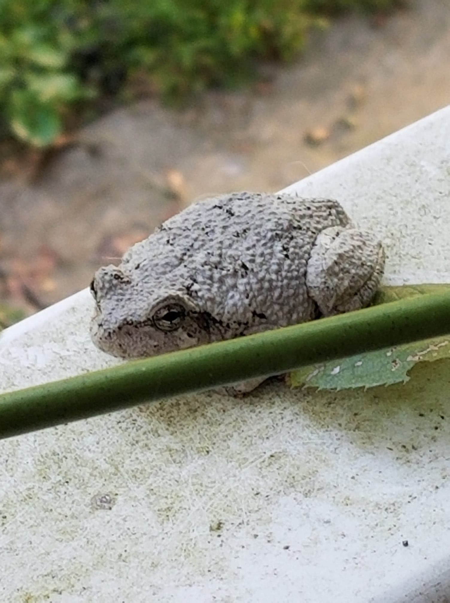 D&D grung white toad white grung