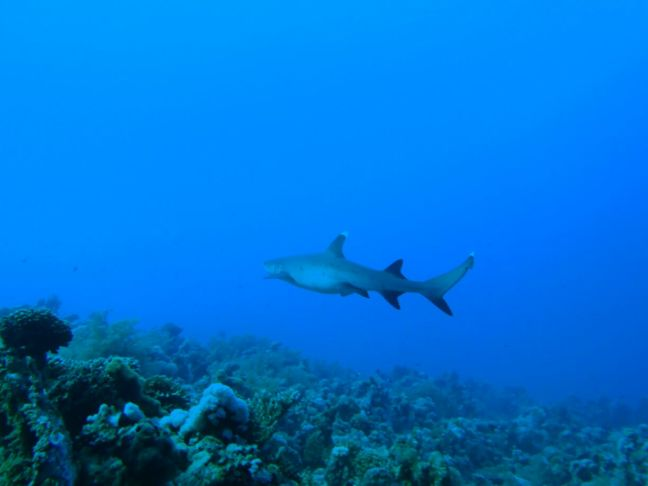 Sharm El-Şeyh Shark