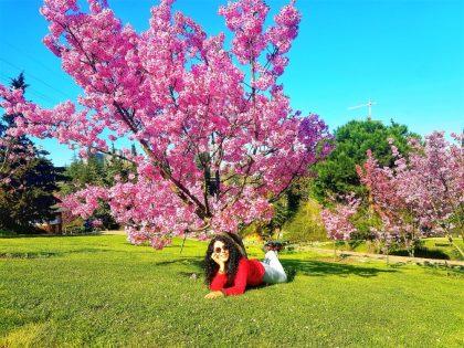Sakura Ağacı ve Nezahat Gökyiğit Botanik Bahçesi