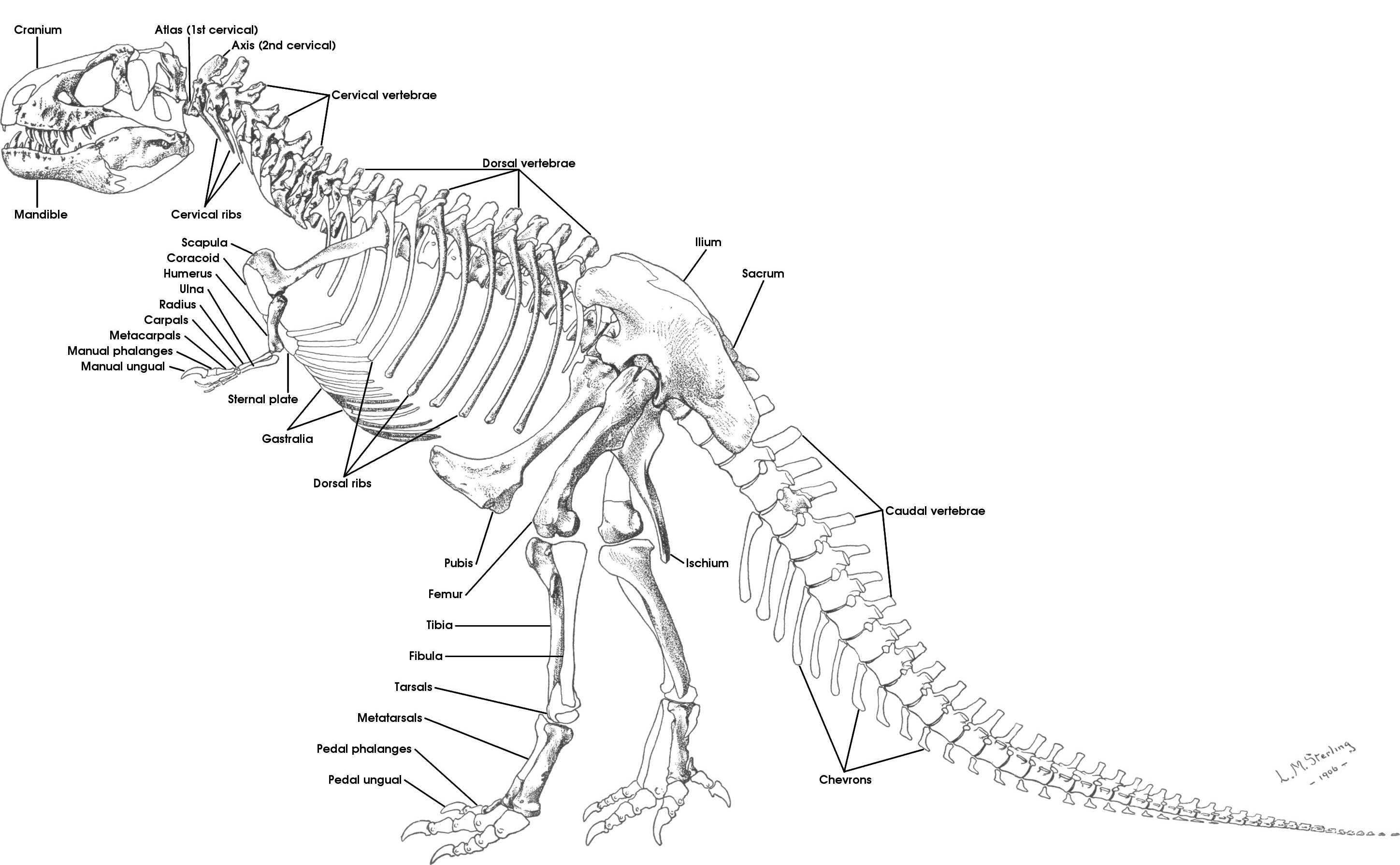 What You Learn About Dragons By Dissecting A T Rex