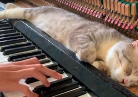 Gato do piano dorme enquanto dono toca