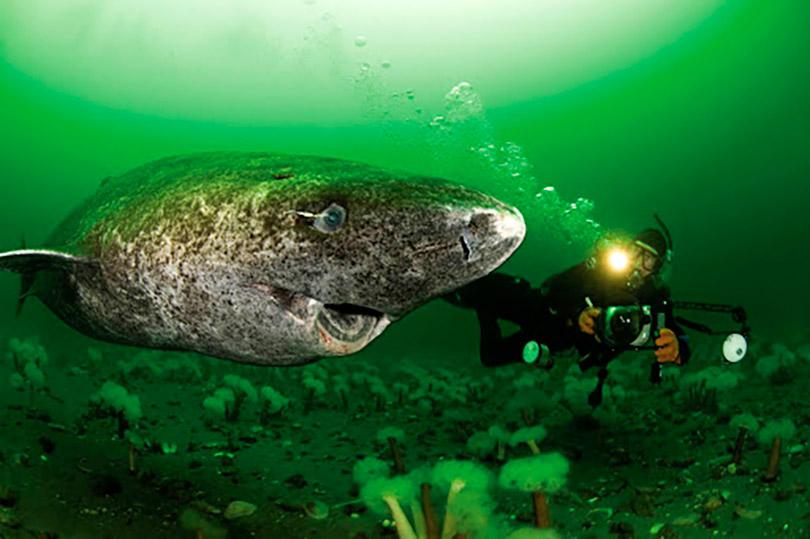 Tubarão de 400 anos é o vertebrado mais velho do mundo