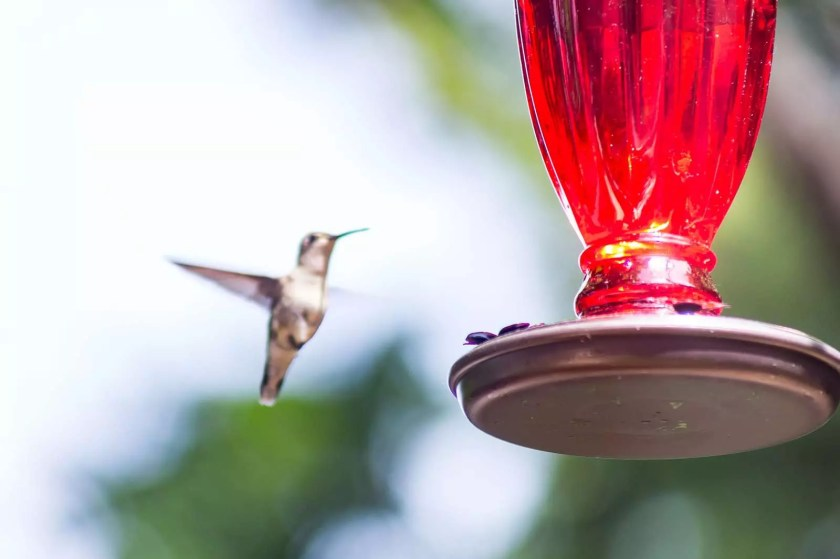 A ruby-throated hummingbird approaching a feeder
