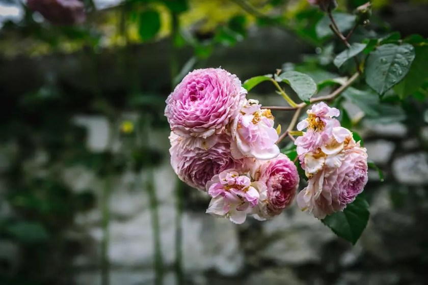 A rose bush branch with blooming pink roses