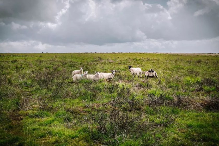A field with little sheep in it
