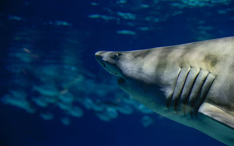 Sand tiger sharks are some of the largest sharks at OdySea, and can grow up to 10.5 feet in length. Their inward-angled teeth help the shark prevent its prey from escaping. Other species at OdySea include nurse sharks and whitetip reef sharks.