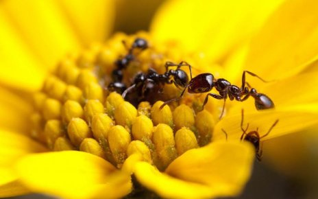 A recent Arizona State University study finds that some ant species produce strong antimicrobials, but 40% of species don't produce any. (Photo courtesy of Clint Penick via ASU)
